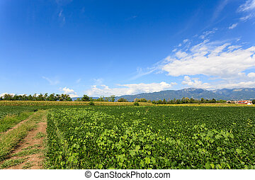 Agriculture, field of soybean