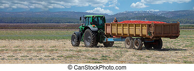 Agriculture field. Tractor with a trailer full of fresh tomatoes in an agricultural field.