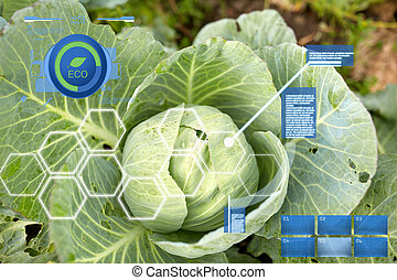 cabbage growing on summer garden bed at farm - agriculture, ...