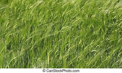 Agriculture - Green wheat field in spring