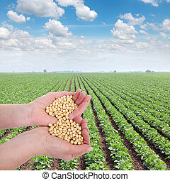 Agriculture - Human hand holding soybean, with field in ...