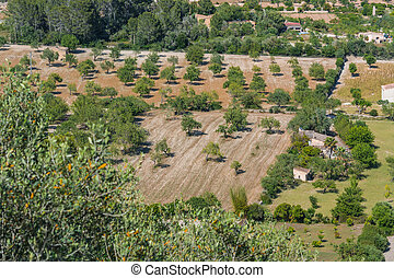 Agriculture in Mallorca - Agricultural area with olive grove...