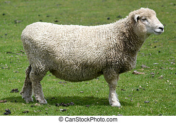 Agriculture in New Zealand NZ NZL - A sheep in a sheep...