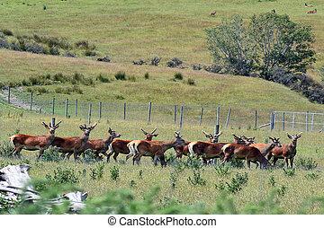 Agriculture in New Zealand NZ NZL - OTAGO, NZ - JAN 15:Flock...