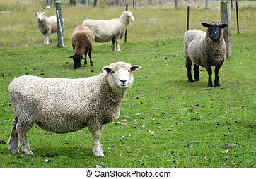 Agriculture in New Zealand NZ NZL - Cattle of mixed sheep in...