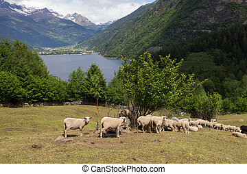 sheep in mountain pastures