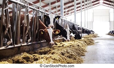 herd of cows eating hay in cowshed on dairy farm -...