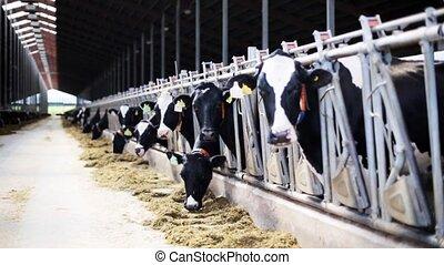 herd of cows eating hay in cowshed on dairy farm