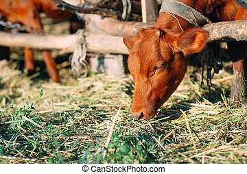 Agriculture industry, farming and animal husbandry concept. herd of cows in cowshed on dairy farm.