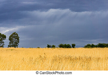 Agriculture landscape with wheat field and dramatic stormy sky