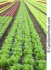 Agriculture live - lettuce in the field