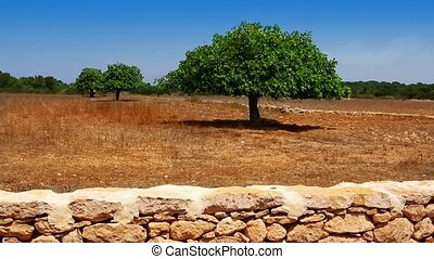 Agriculture in Mediterranean of fig tree in red soil island of Formentera Ibiza