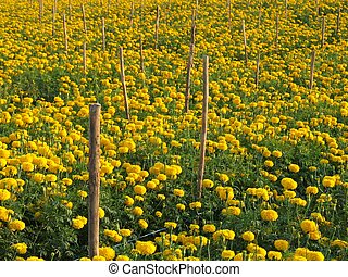 marigold flower field