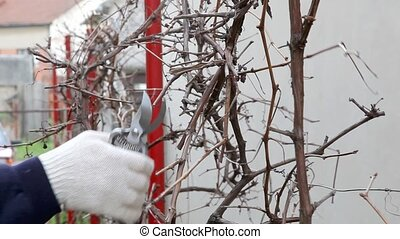 Agriculture - Pruning grape in a vineyard selective focus on...