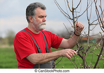 Agriculture, pruning in orchard - Mid adult man pruning tree...