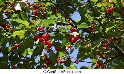 Agriculture, red cherry fruit tree