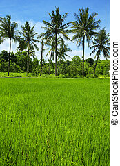 Rice field at Bali, Indonesia. Coconut tree as background.