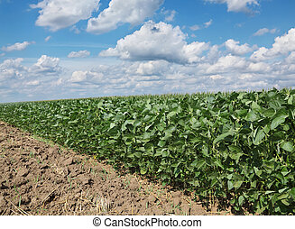 agriculture, soja, champ