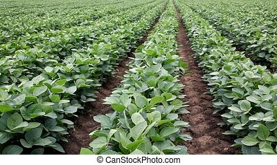 Soy bean plant in a soybean field in perspective