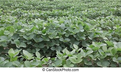 Agriculture - Soy in field in spring