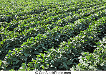 Agriculture, soy plant field