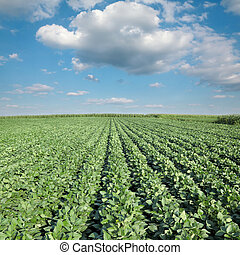 Soy plant in field with blue sky and white fluffy clouds