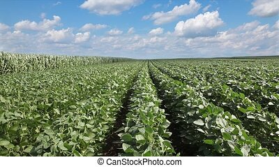 Agriculture, soybean plant field - Soy plant in field with...