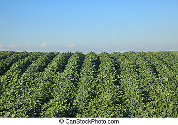 Agriculture, soybean plant in field