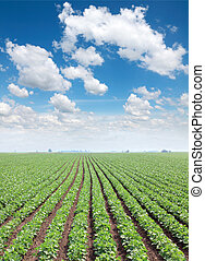 Agriculture - Soy field in spring with beautiful blue sky...