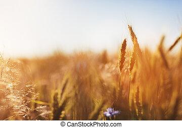 agriculture, sunset., concept., récolte, champ, blé