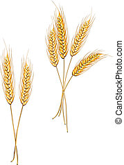 Ripe wheat isolated on white as an agriculture concept