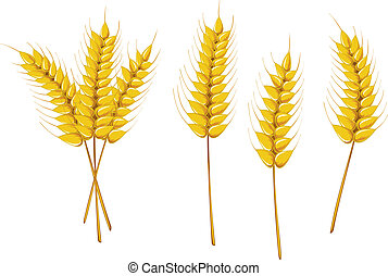 Agriculture symbols - Ripe wheat isolated on white as an...