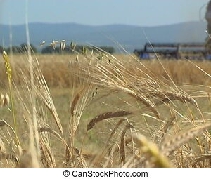 Agriculture - The Ripened wheat.
