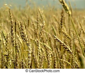 Agriculture - The Wheat field. Rye Ear