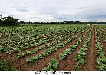 Tobacco plantations in rural areas - Agriculture / Tobacco ...