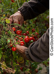 agriculture tomato harvest