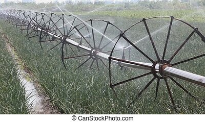 Agriculture - Watering of onion field, with irrigation...