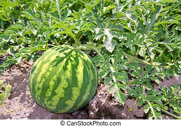 agriculture watermelon field big fruit water melon -...