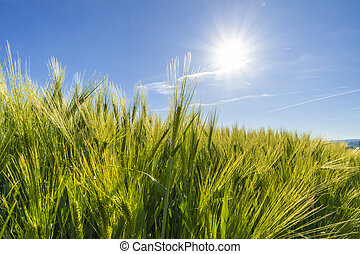 Agriculture wheat field