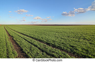 Agriculture, wheat field in spring - Green wheat field in...