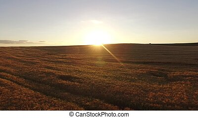 Agriculture wheat field panorama. Wheat field agriculture landscape
