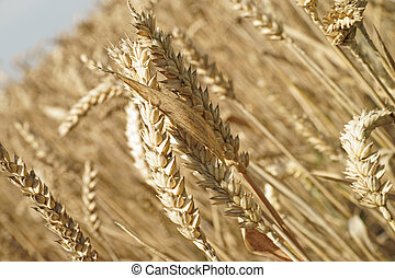 Agriculture - Wheat field