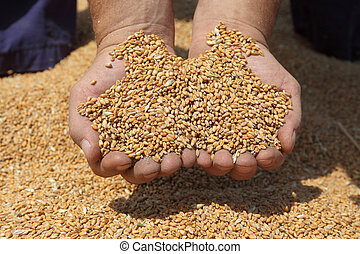 Farmer hands holding handful of wheat at wheat crop