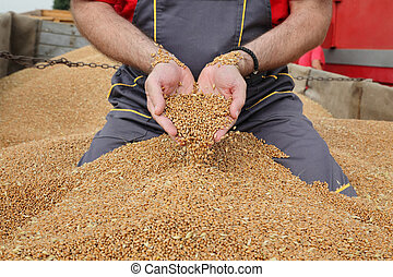 Agriculture, wheat harvest, farmer pouring crop