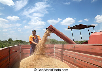 Agriculture, wheat harvesting
