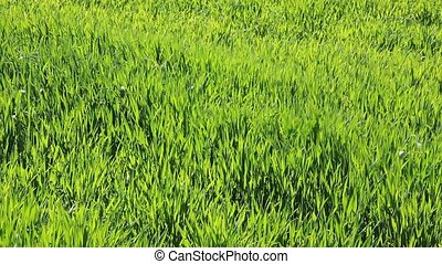Agriculture, wheat plant