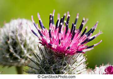 Burdock close up during flowering