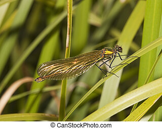 agrion,  banded, hembra
