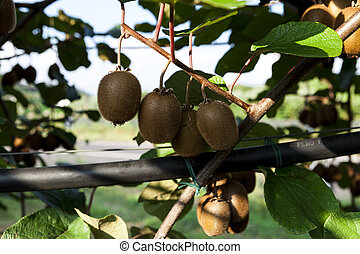 agritourism, fruechte, kiwi, bushes., italien, reif, ...