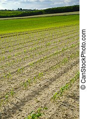 agronomiskt felt, hos, planter